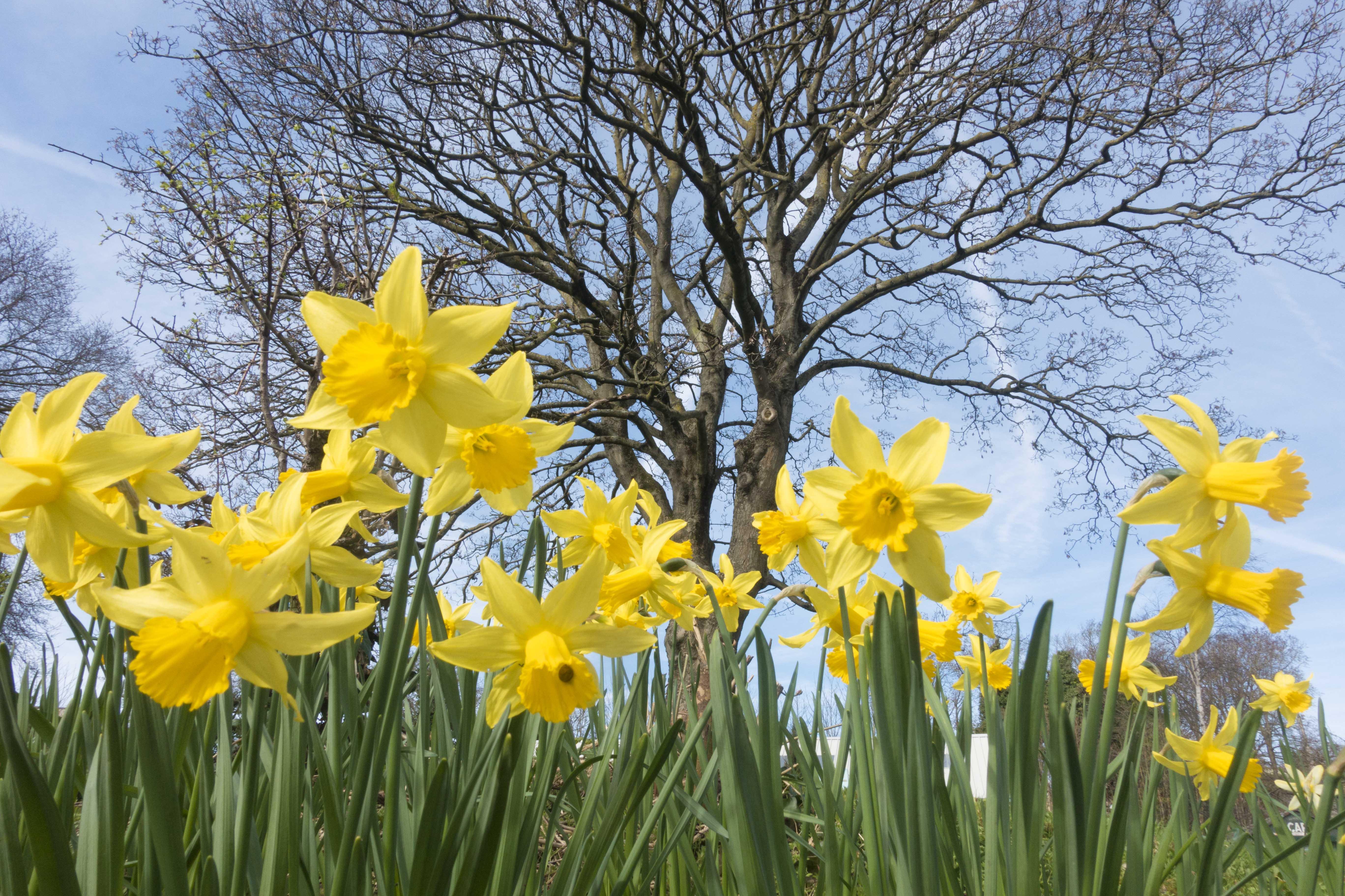 Spring Daffodils. Brighton