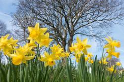 Brighton Daffodils