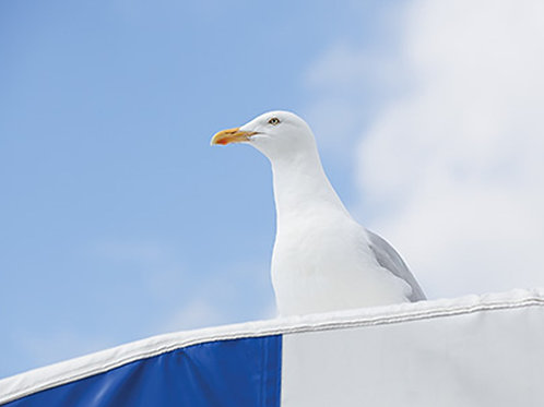 Seagull - Blue and White