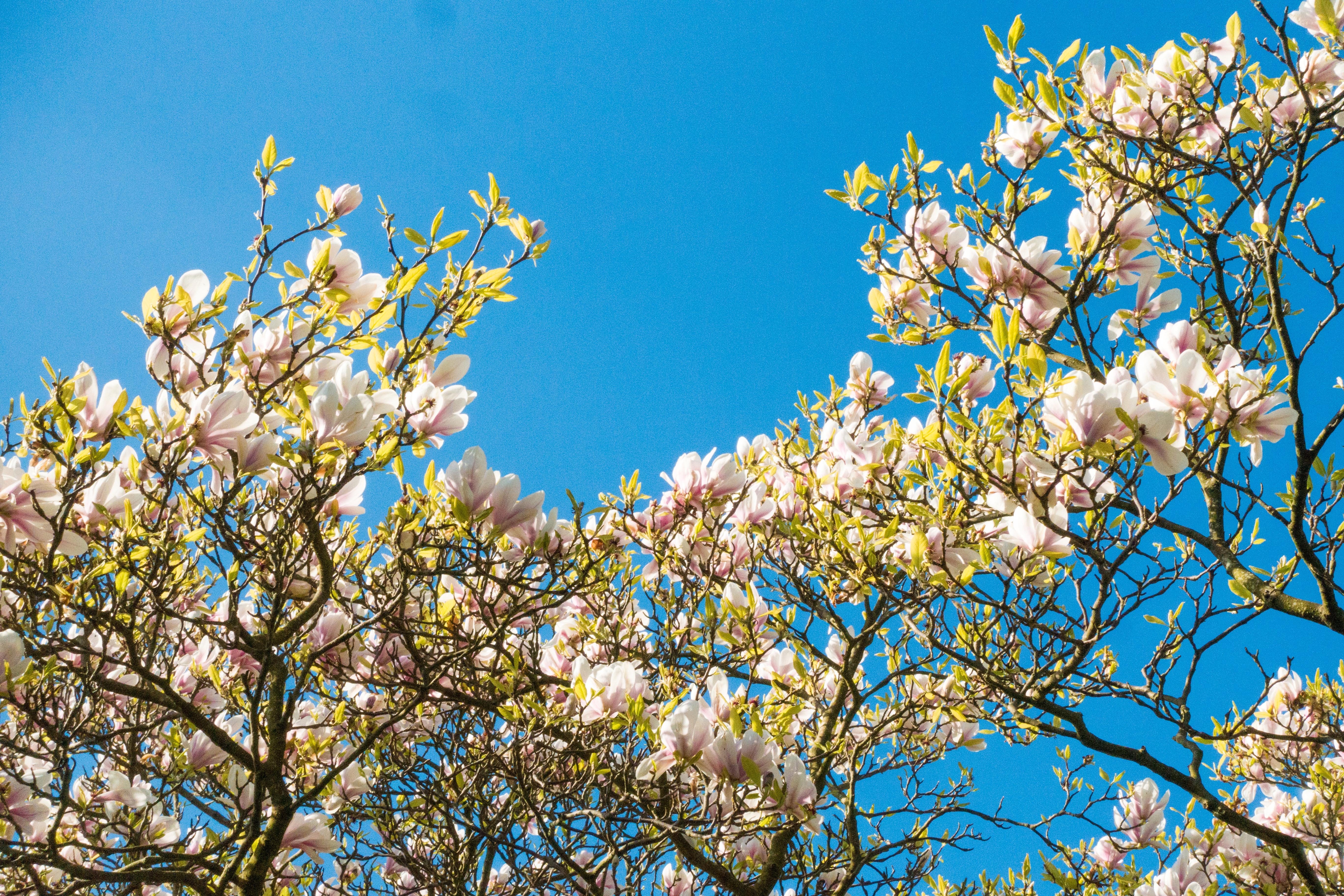 Magnolia Blossoms, Hove