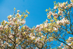 Magnolia, Hove