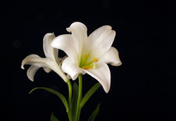 Hove Lily