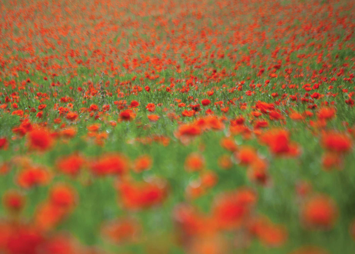 Poppy Field near Brighton