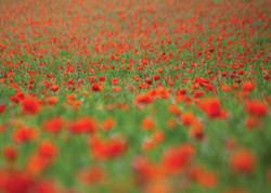 Poppy Field near Brighton