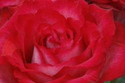 Rose -  05