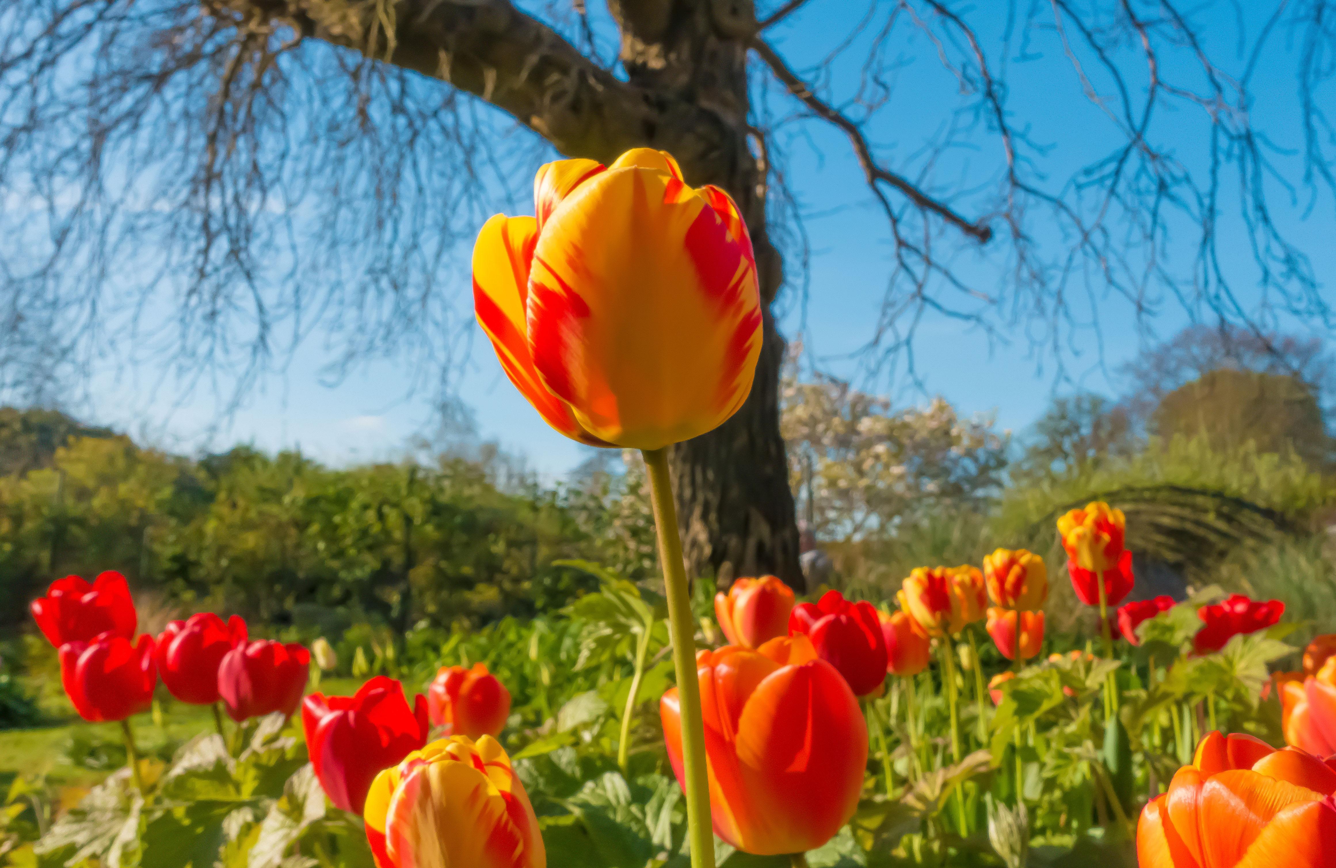 Preston Manor Tulip