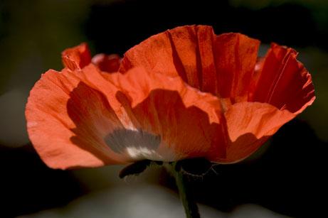 Sunlit Poppy
