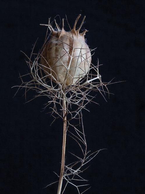 Nigella Seed Head