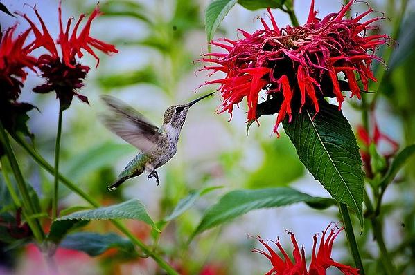 HUMMING BIRD IN FLY.jpg
