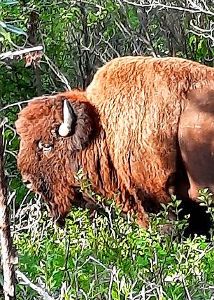 buffalo final.jpg
