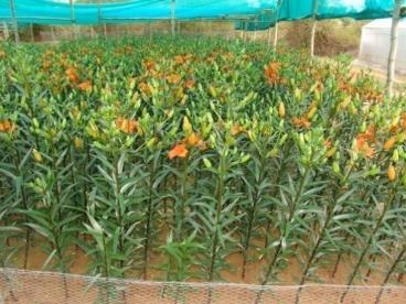 Shansha Cut Flower Cluster