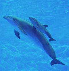 Meet the Zoo's new dolphin baby - Maui!