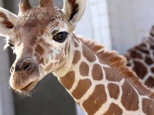 Zoo's baby giraffe is named! Meet Kendi!