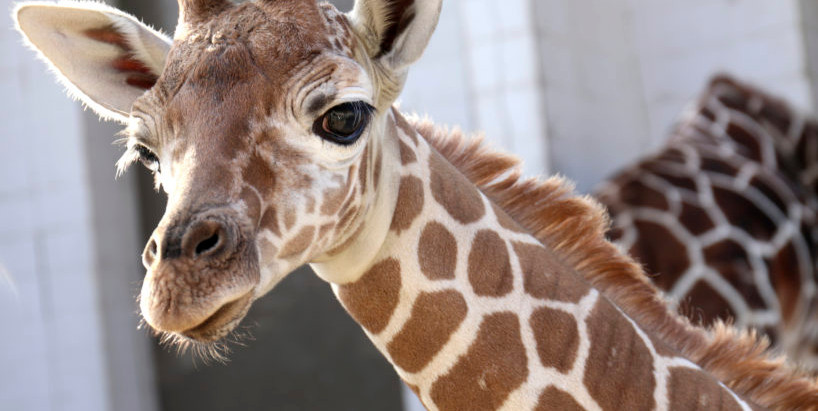 Zoo's baby giraffe is named! Meet Kendi!