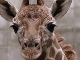 IndyZoo welcomes baby giraffe!