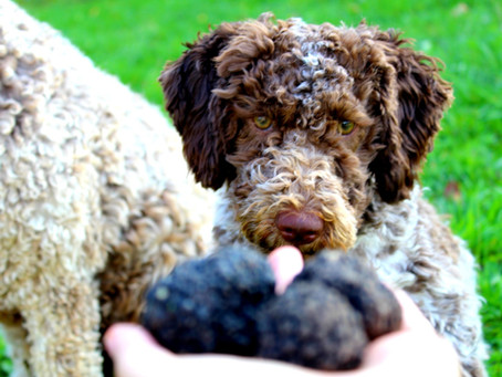 Il Lagotto Romagnolo: che tipo di cane è?