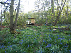 Bluebells starting to come through..