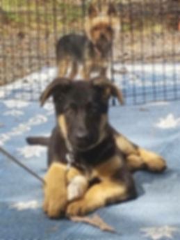 MoShepherds.com Missouri German Shepherd Puppies Joplin, MO