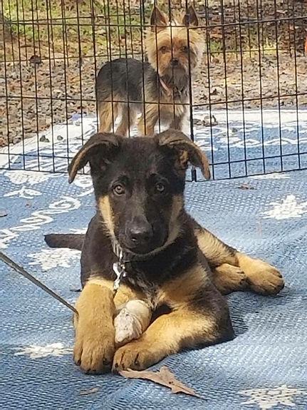 MoShepherds.com Missouri German Shepherd Puppies Joplin, MO