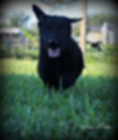 MOshepherds.com German Shepherd Puppy Spike located in Joplin, Missouri