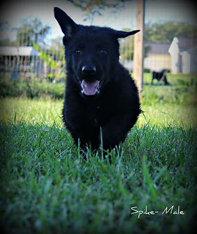 MOshepherds.com German Shepherd Puppy Spike located in Joplin, Missouri