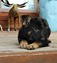 German Shepherd Puppy St Louis MOShepherds.com