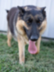 Lassie Purebred German Shepherd Joplin, MO MoShepherds.com