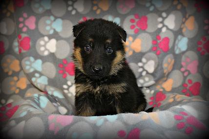 Purebred German Shepherd Puppies MoShepherds.com Joplin, Missouri