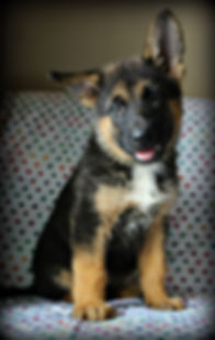 Purebred German Shepherd Puppies MoShepherds.com Joplin, Missouri