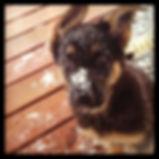 MoShepherd.com Missouri German Shepherd Puppies