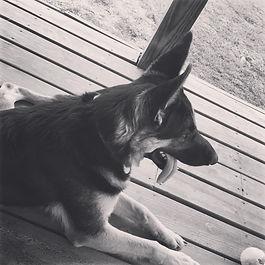MoShepherds.com Missouri German Shepherd Puppies AKC purebred