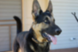 Blu Sawyer on patrol MoShepherds.com Joplin, MO