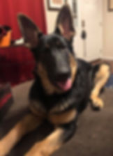 MOShepherds.com German Shepherd Puppy Joplin, MO Missouri