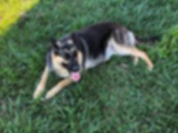 Lassie MOShepherd.com German Shepherd Dog Joplin, MO