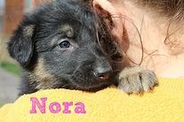 German Shepherd Puppy Mid-Missouri MOShepherds.com