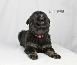 Kansas City German Shepherd Puppy MoShepherds.com