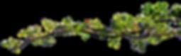 branche rosier.png