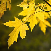 Silver_Maple_Tree_2_FGT_650x.jpg