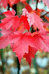 brandywine-red-maple-2-2.jpg