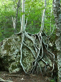 roots on rock.jpg