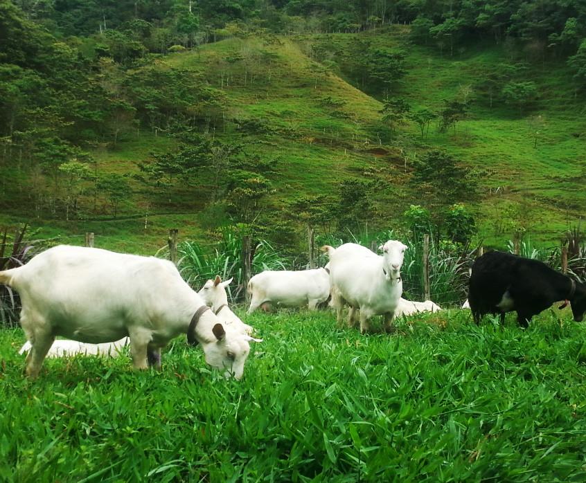 Pastoreando para producir  nuestra materia prima, ¡gracias cabritas!