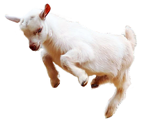 Baby-goat-jumping.png