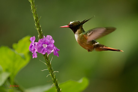 Aves - Birdwatching