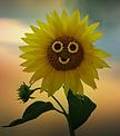 sunflower-3649508_960_720.webp