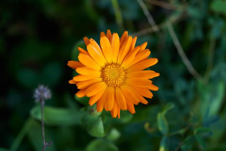 Jachère fleurie (Souci)
