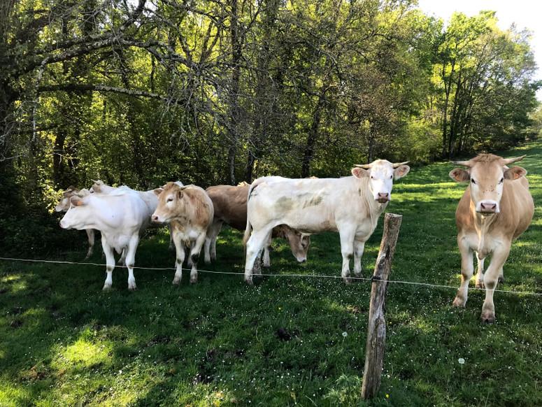 Les vaches de Michel
