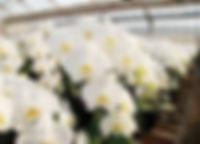 胡蝶蘭 農園