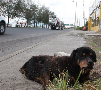 Quito: 1 perro abandonado por cada 22 habitantes