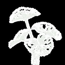 Centella asiatica - Gotu Kola