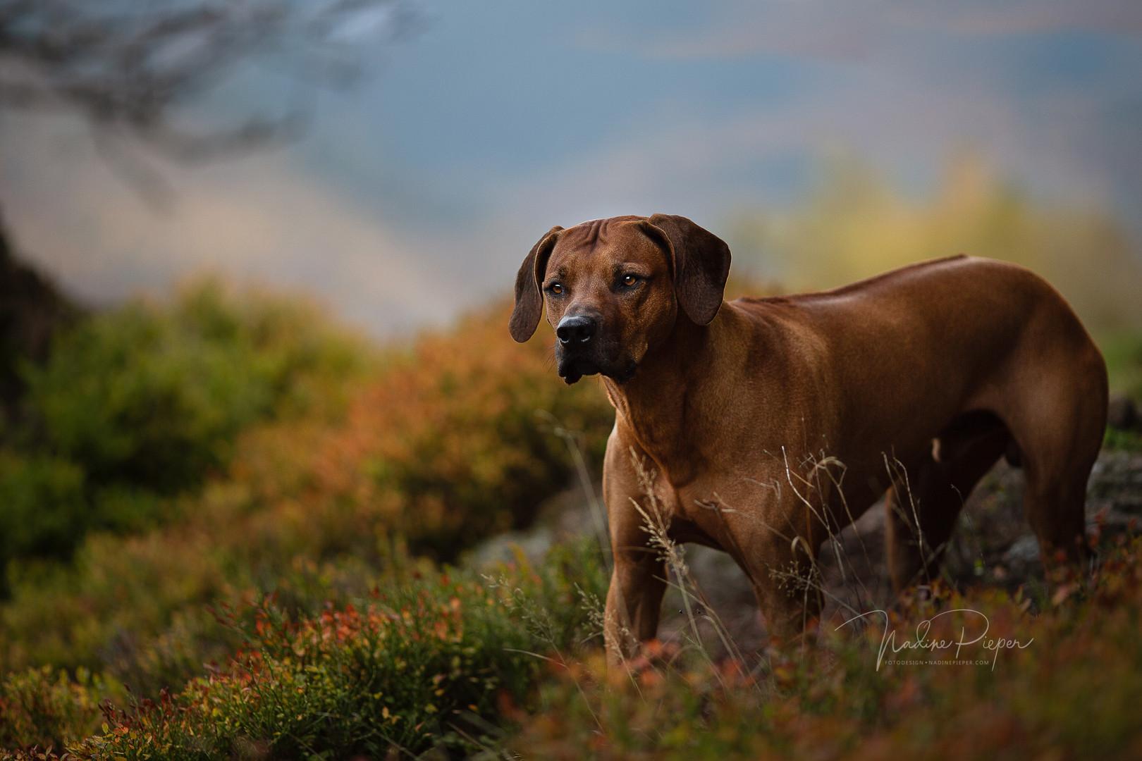 prodogstyle_rhodesian-ridgeback_hundesho